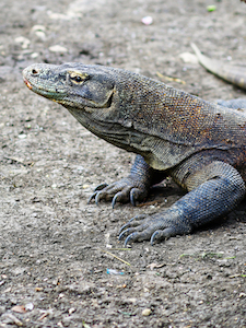 印尼科莫多蜥蜴 Komodo Island dragon Indonesia