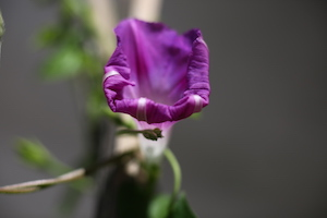 morning glory blooming牵牛花开