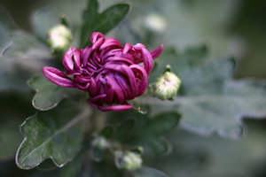 紫菊花 purple chrysanthemum