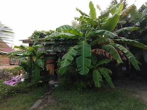 banana tree Beach House of Cambodia