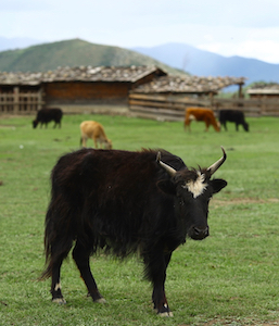 yak in the grassland