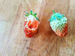 home grown strawberries bugs
