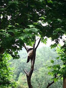 panda sleeping in tree