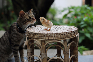 new born chick and house cat