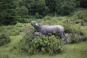 元阳 water buffalo expressing itself