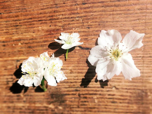 spring flowers - similarity between cherry plum & pear blossoms