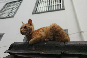 orange cat on the roof in rain 橘猫