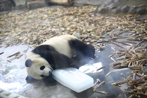 成都熊猫繁殖基地吃冰块的熊猫chengdu panda research center - panda chewing on ice summer day