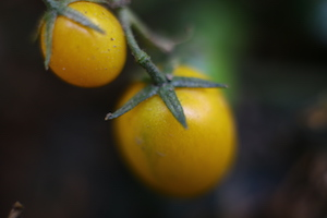 early spring yellow tomato