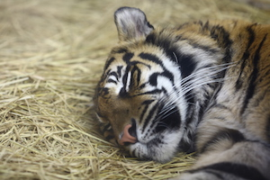 大猫熟睡的老虎 image of sleeping tiger